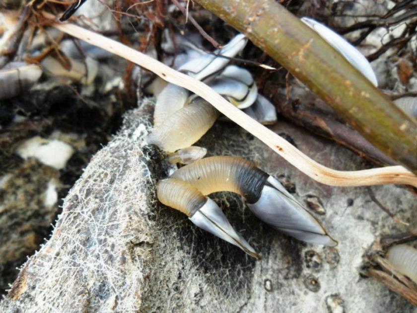 Goose Barnacles at Timaru Port Shingle Beach